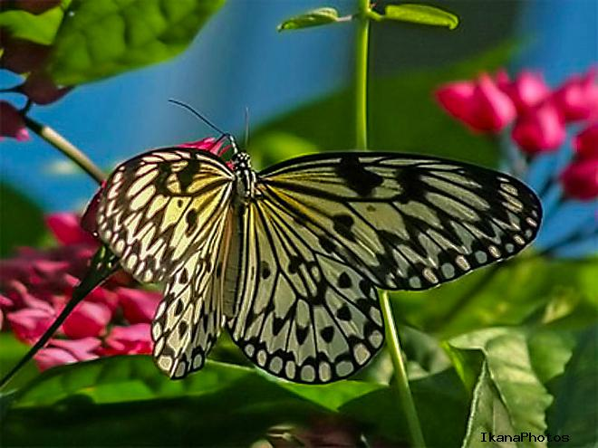 Свое название долина получила в честь «Тигровой бабочки»