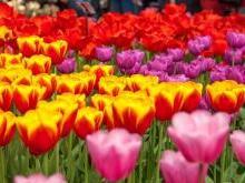 Парк цветов «Кёкенхоф» Нидерланды